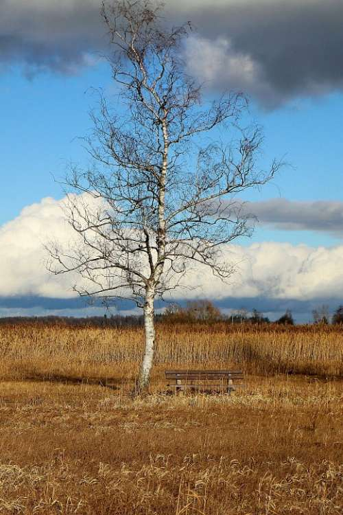 Nature Tree Birch Bank Bench Sky Blue Sit Out