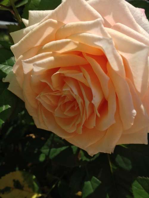 Nature Flower Rose Garden