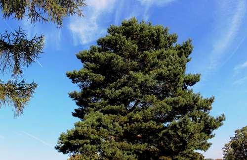 Nature Tree Conifer Pine Sky Cloud