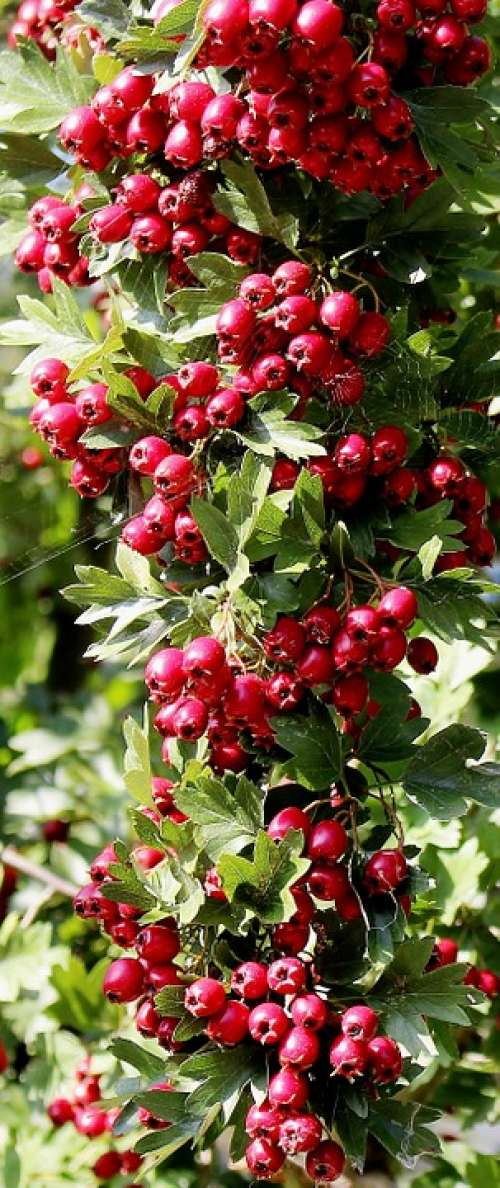 Nature Plant Bird Bed Rowanberries Toxic Beautiful