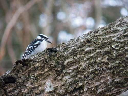Nature Woodpecker Bird Birds Wildlife Animals