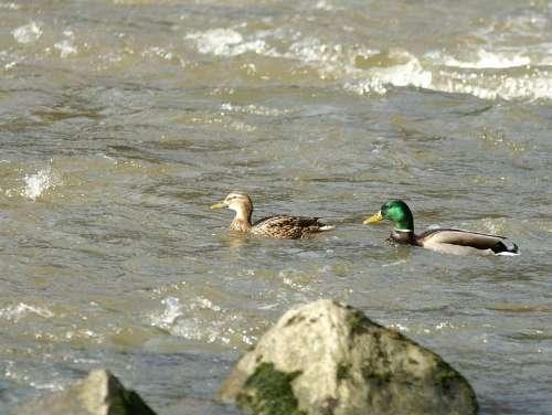 Nature Water River Ducks Pair Of Ducks