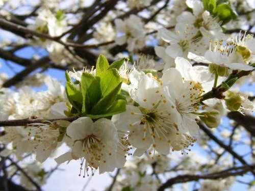 Nature Flowers Gardens Mirobolam Prunus Cerasifera