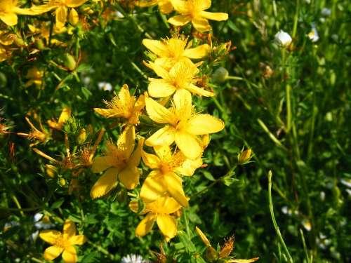 Nature Flowers Gardens Hypericum Perforatum