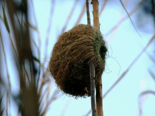 Nest Shelter Home Woven Reeds Weaver Bird