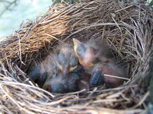Nest Bird Blackbird