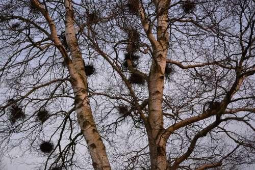 Nests Tree Birch Bird Nests