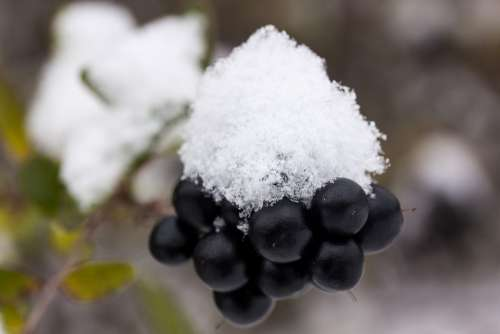 New Zealand Snow White Black Berries Transition