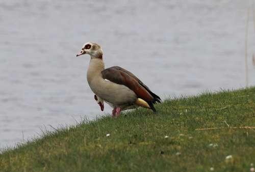 Nilgans Alopochen Aegyptiacus Goose Geese