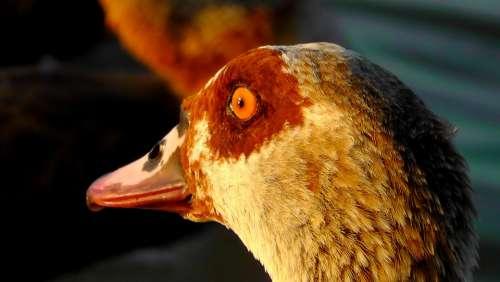 Nilgans Head Goose Eye Portrait Bird Bill