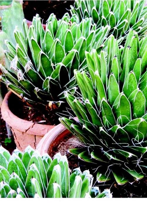 Noa Queen Victoria Victoria Reginae Desert Plant