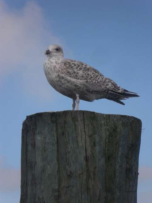 North Sea Seagull Port