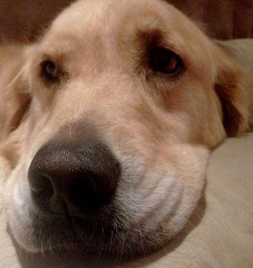 Nose Resting Dog Golden Retriever Head Pet Doggy