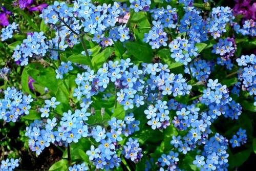 Nots Flowers Blue Garden Nature Little Flowers