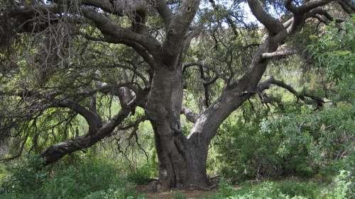 Oak California Tree Deciduous Tree Landscape