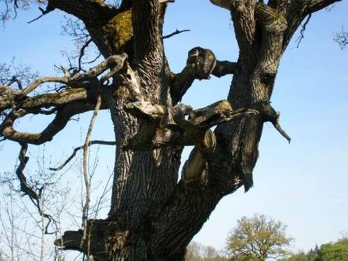 Oak Oak Tree Gnarled Bizzar Tree Tree Faces