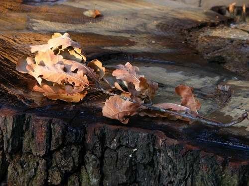 Oak Leaves Brown Oak Leaves Dry Branch Autumn