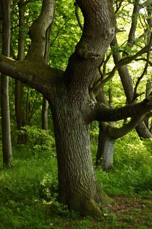 Oak Oak Forest Tree Forest Green Log Nature