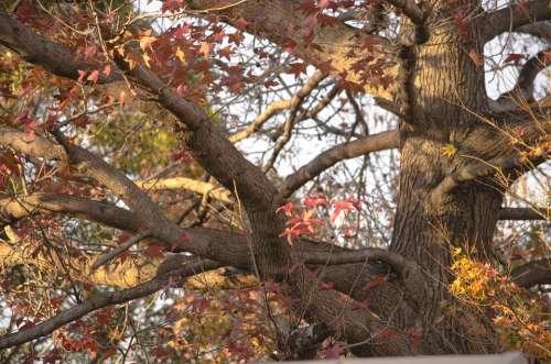 Oak Autumn Leaves Tree Nature Season Red Brown