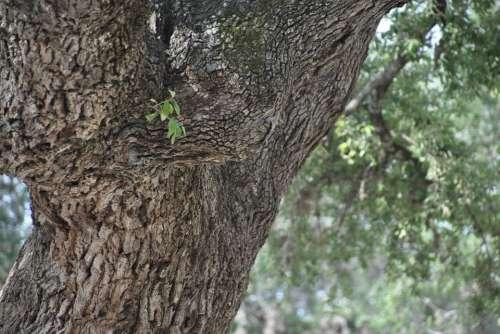 Oak Tree Nature Branch Season Natural Green Wood