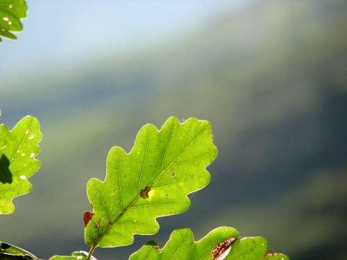 Oak Leaf Green Structure Leaf Oak Oak Leaves