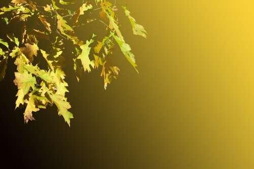 Oak Leaves Leaves Emerge Oak Autumn Decoration