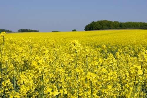 Oilseed Rape Field Field Of Rapeseeds