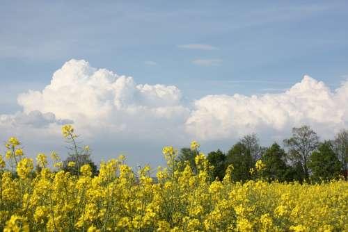 Oilseed Rape Field Of Rapeseeds Yellow Plant Crop