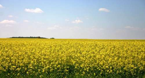 Oilseed Rape Field Of Rapeseeds Yellow Color