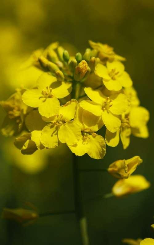 Oilseed Rape Cereals Yellow