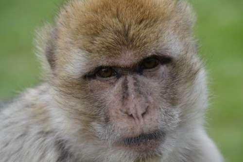 Old World Monkey Monkey Zoo Animal Animal World
