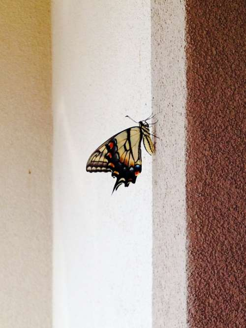 Old World Swallowtail Papilio Machaon Butterfly