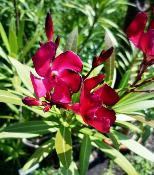 Oleander Purple Laurel Rose Toxic Blossom Bloom
