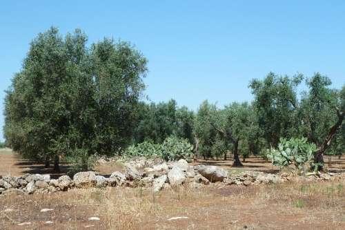Olive Puglia Salento