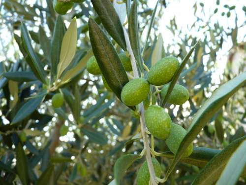 Olive Close Up Green Olive Grove