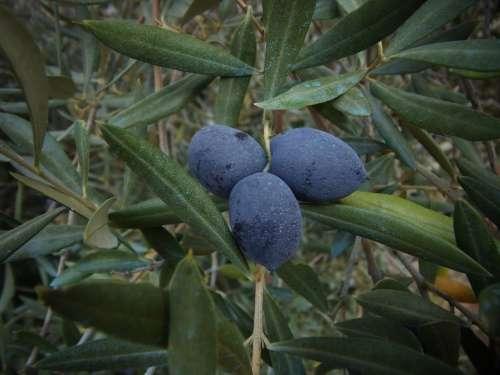 Olive Olives Vegetable Field Oil Harvest