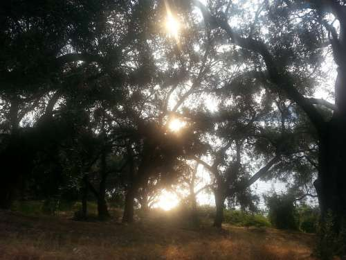 Olive Grove Sun Olive Trees Sunlight Lichtspiel
