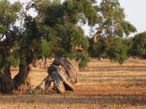 Olive Tree Trees Secular
