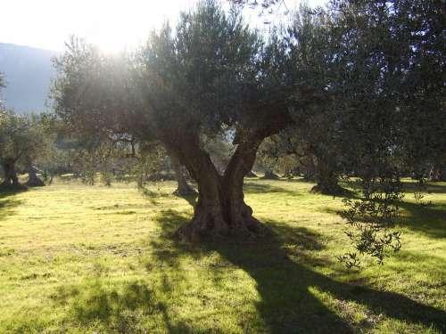 Olive Trees Sun Field