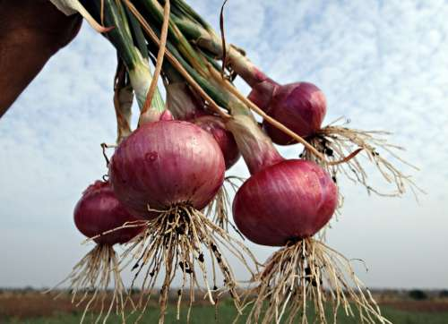 Onions Fresh Harvested Vegetable Onion Bulbs India