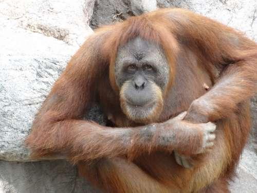 Orang Utan Zoo Monkey Ape Primate Nature Orange