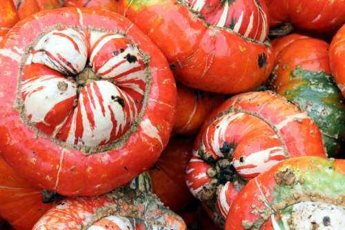 Orange Pumpkins Fall Autumn Gourds White Udders