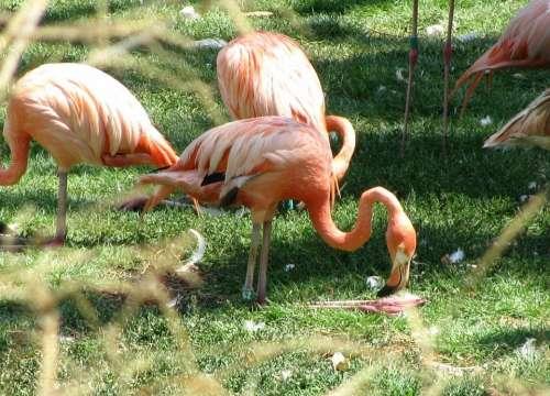 Orange Flamingos Animal Bird Beautiful Colorful