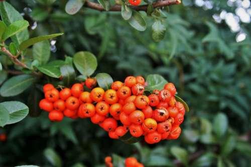 Orange Berries Berries Rounded Orange Fleshy