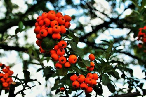 Orange Berries Berries Orange Bright Fleshy