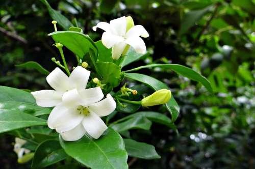 Orange Jasmine Kamini Kamini Kusum Flower White