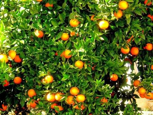 Oranges Fruit Orange Tree Spain Citrus Fruit