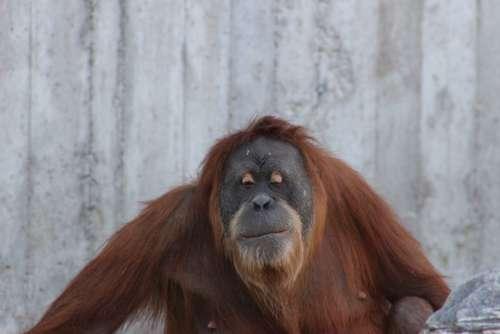Orangutan Ape Nature Orang Utan Primate Monkey