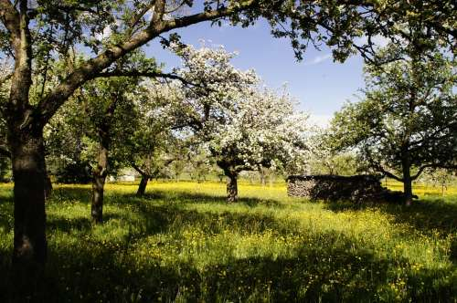 Orchard Bloom Apple Trees Apple Blossom Spring