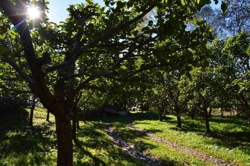 Orchard Fruit Apple Tree Garden Sun Nature